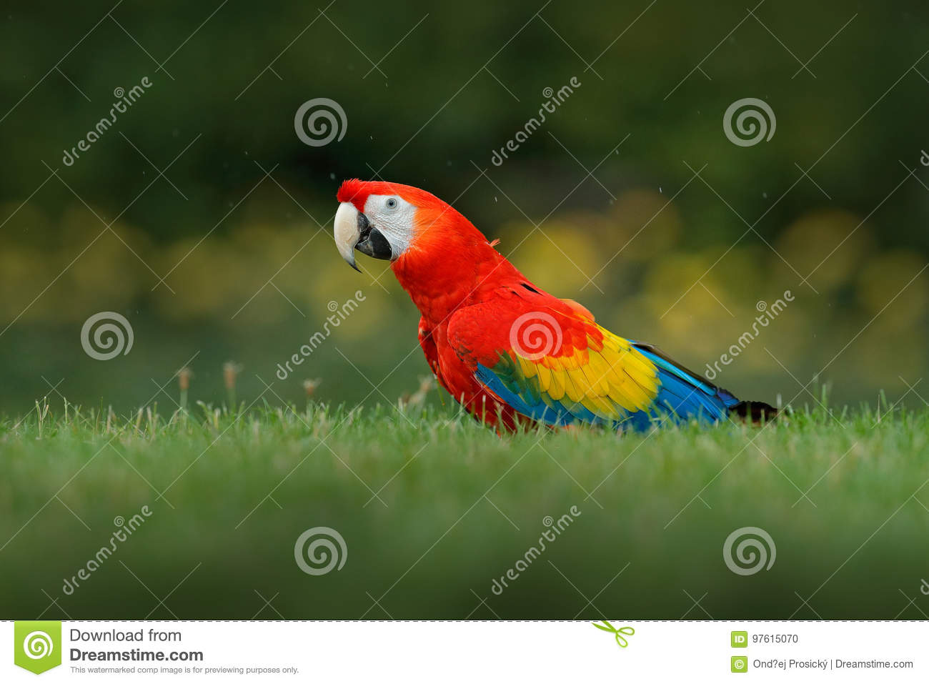 Parrot in grass. Wildlife in Costa Rica. Parrot Scarlet Macaw, Ara macao, in green tropical forest, Panama. Wildlife scene from tr