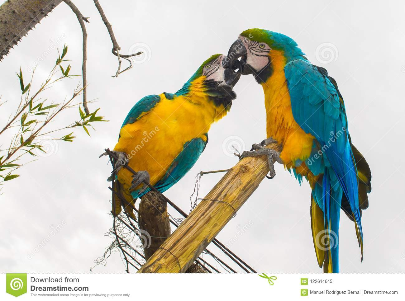 Parrot kissing in love