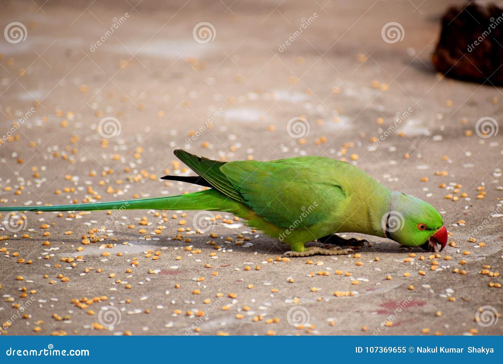 Parrot picking grains with beak