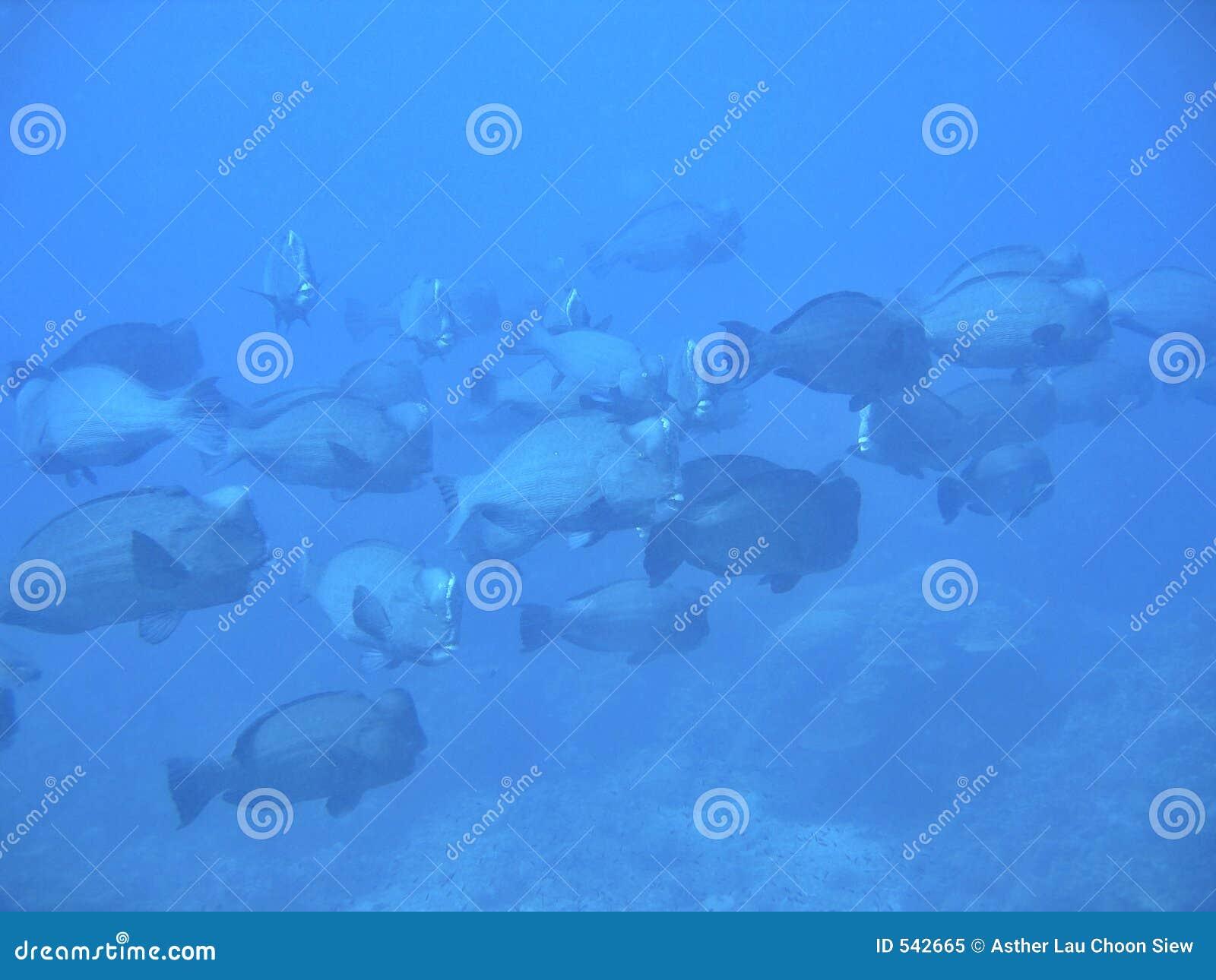Parrotfish de Humphead junto