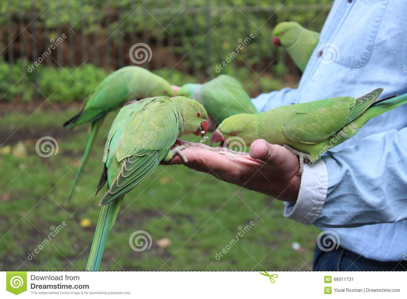 Parrots Eat Stock Photo - Image: 66011731