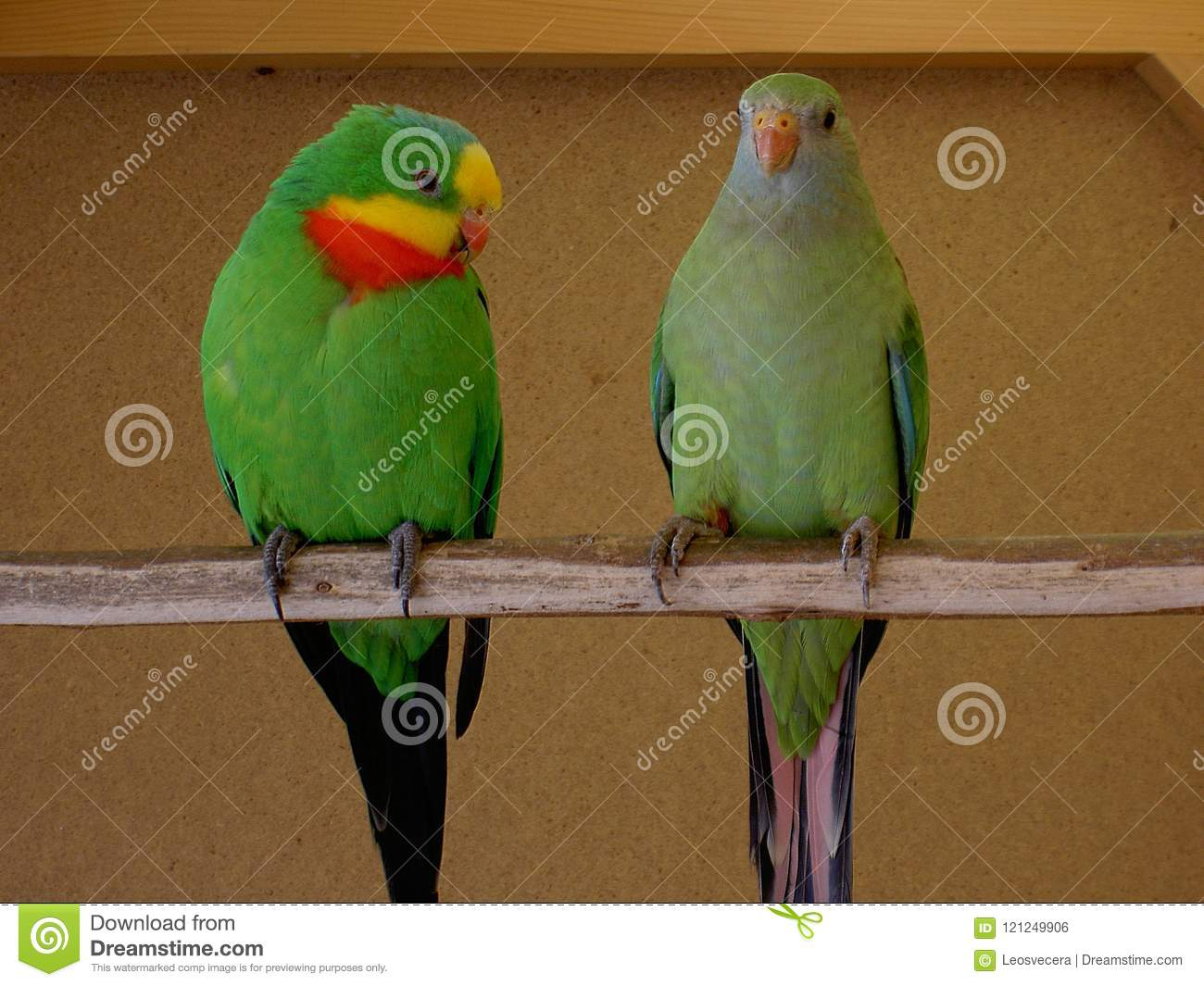 parrots superb male a female stock photo image of perch claw