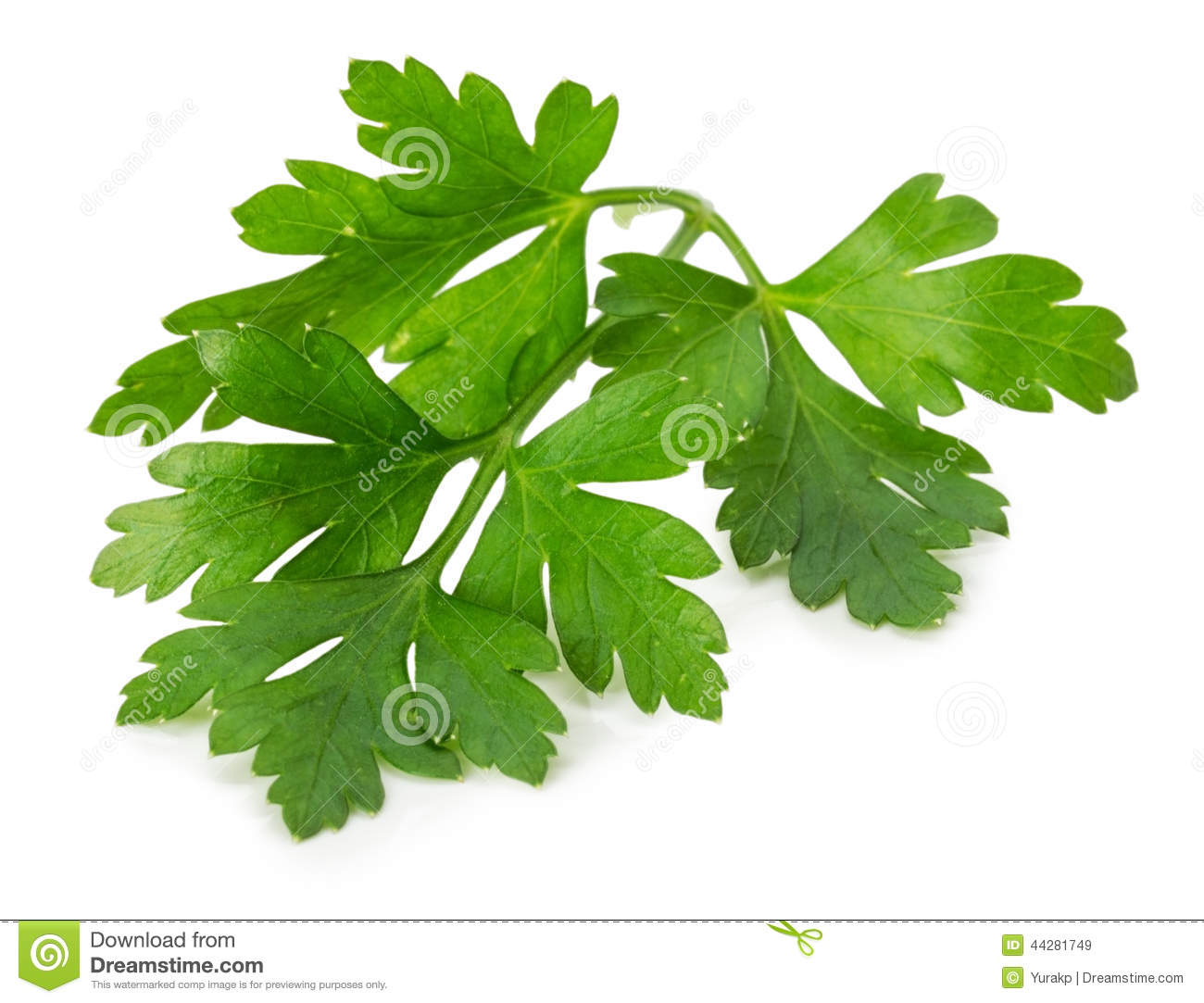 Parsley Illustration Parsley leaves isolated on