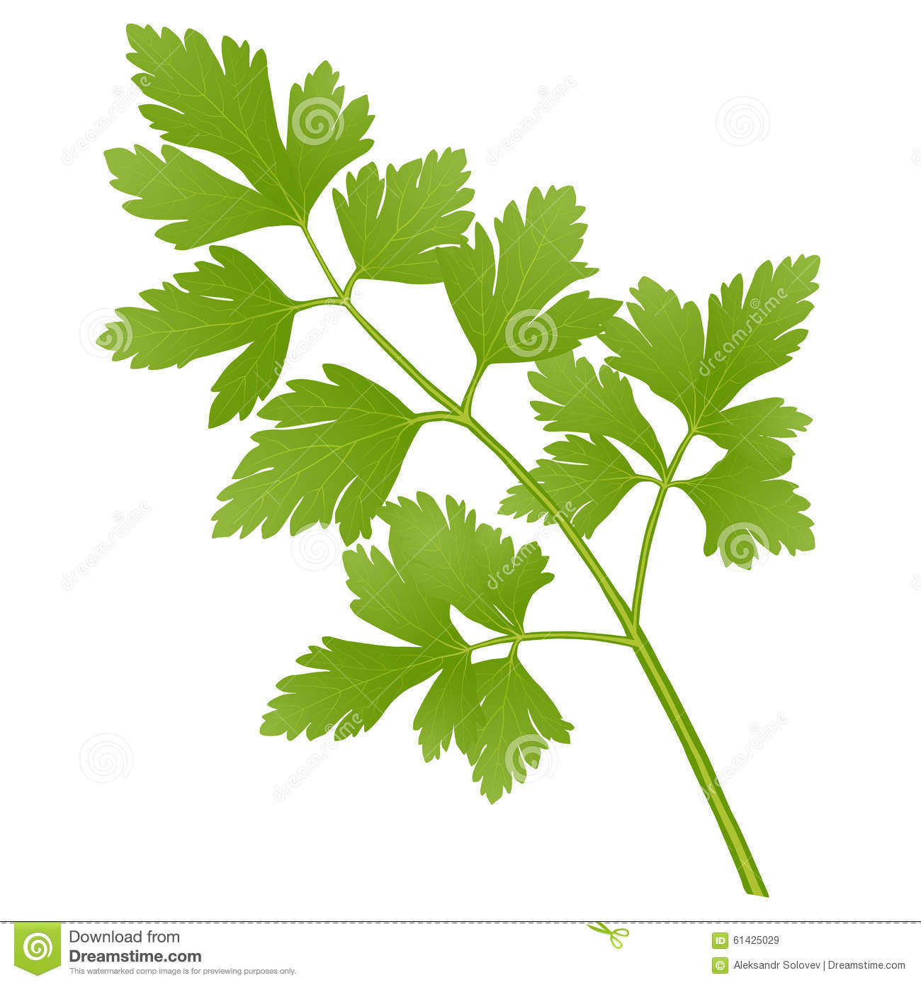 Parsley Illustration Parsley Stock Vector -...