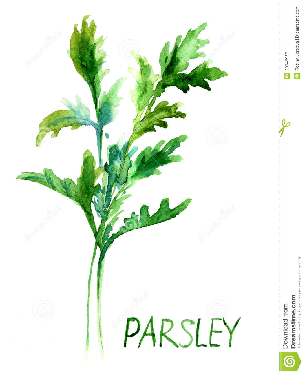 Parsley Illustration Parsley, Watercolor Il...