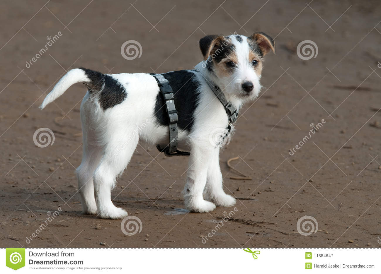 parson jack russell puppy stock image image of view 11684647. Black Bedroom Furniture Sets. Home Design Ideas