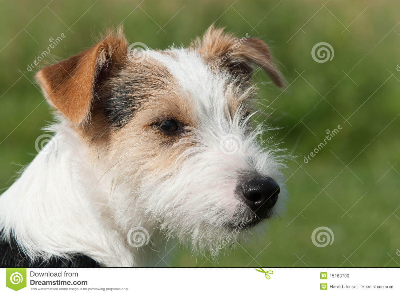 parson jack russell terrier resting on the grass royalty free stock photography cartoondealer. Black Bedroom Furniture Sets. Home Design Ideas