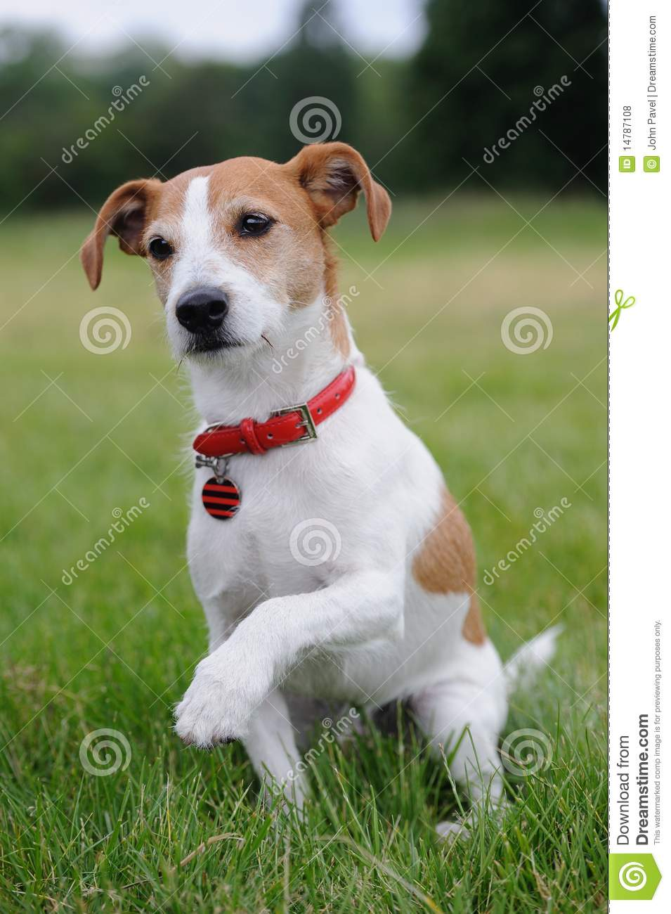 Parson Jack Russell Terrier Offering His Paw Royalty Free Stock Photos ... White Parson Russell Terrier