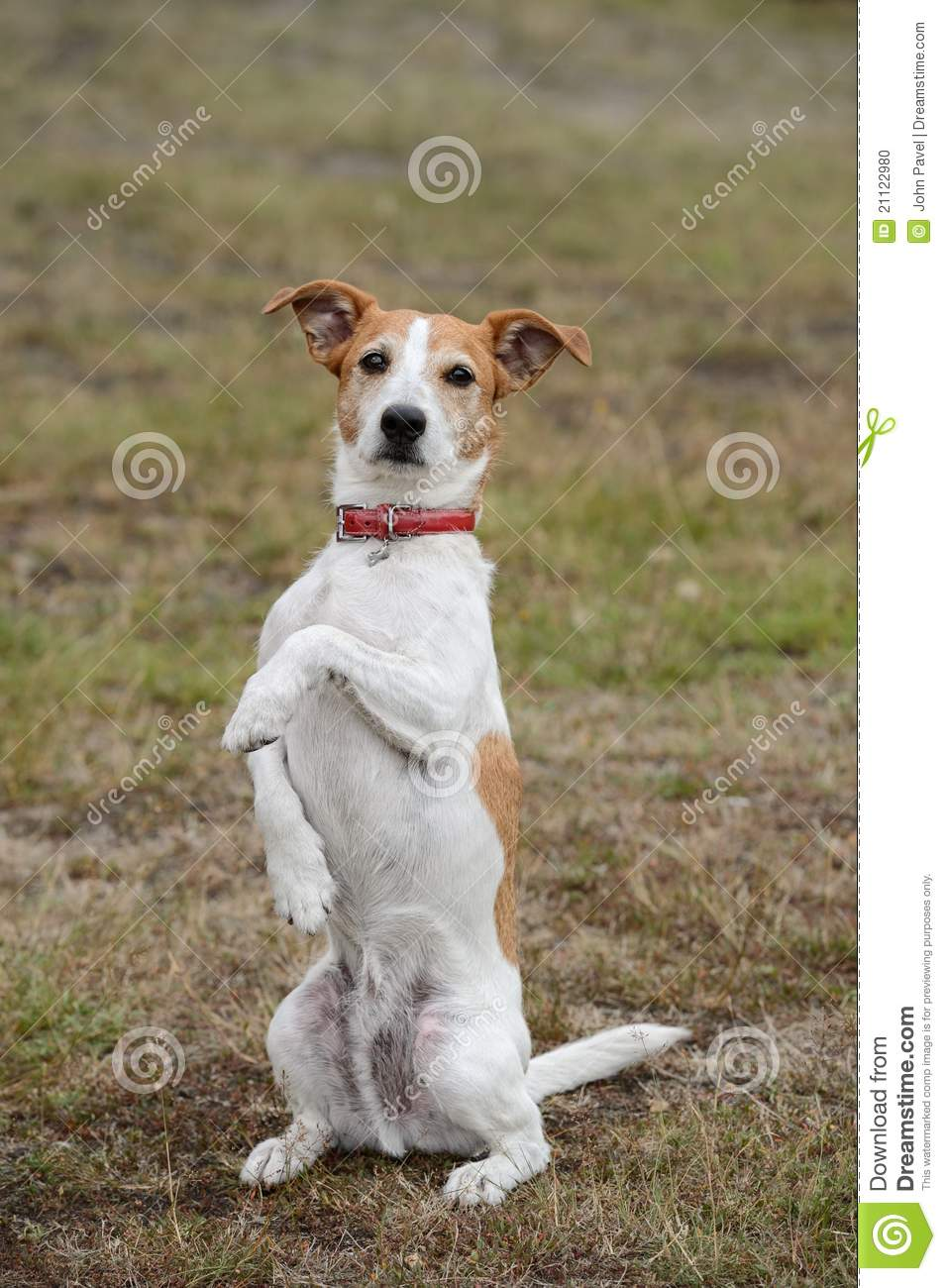 parson jack russell terrier sitting up and begging stock photo image 21122980. Black Bedroom Furniture Sets. Home Design Ideas