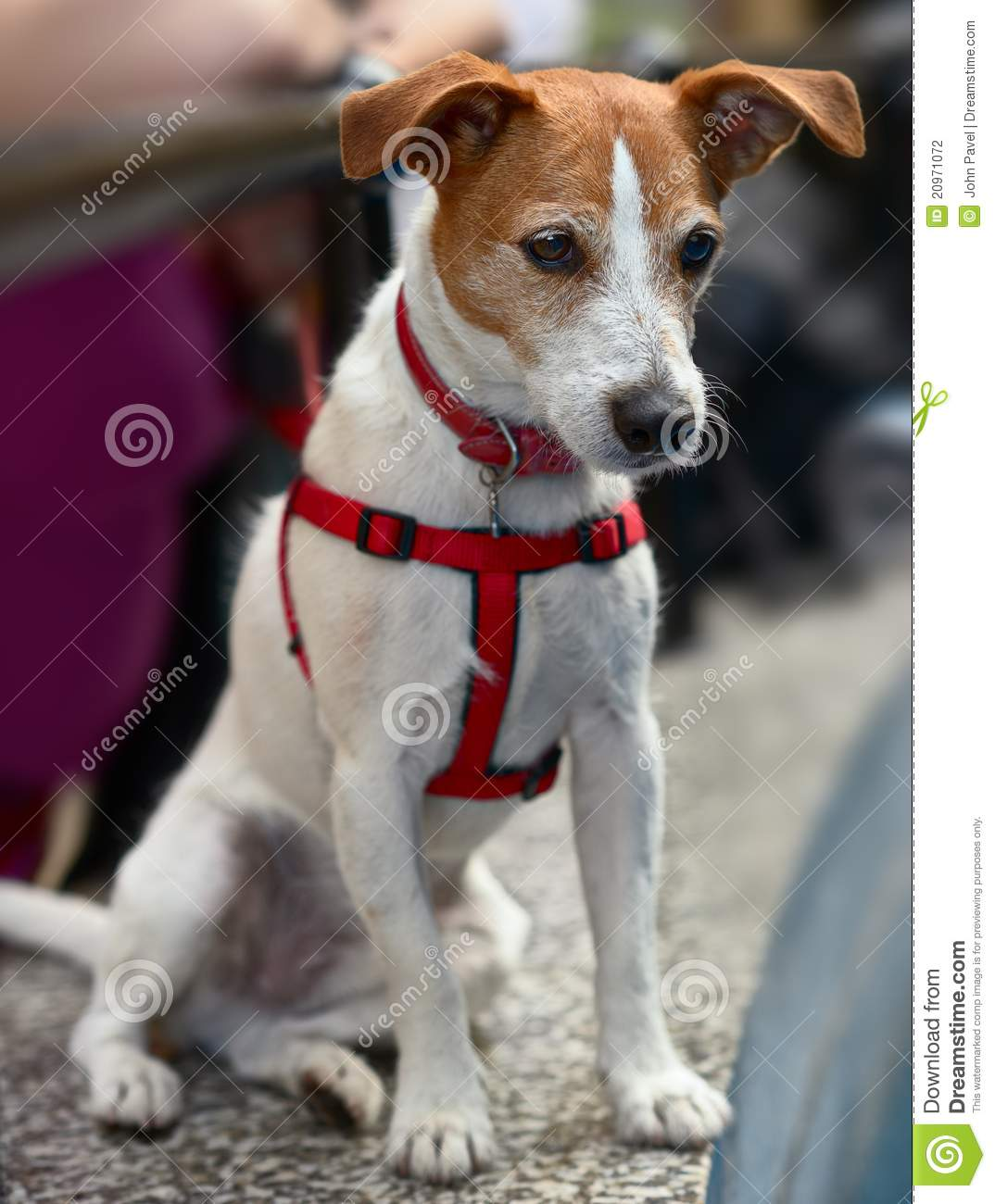 parson jack russell terrier watching stock photo image 20971072. Black Bedroom Furniture Sets. Home Design Ideas