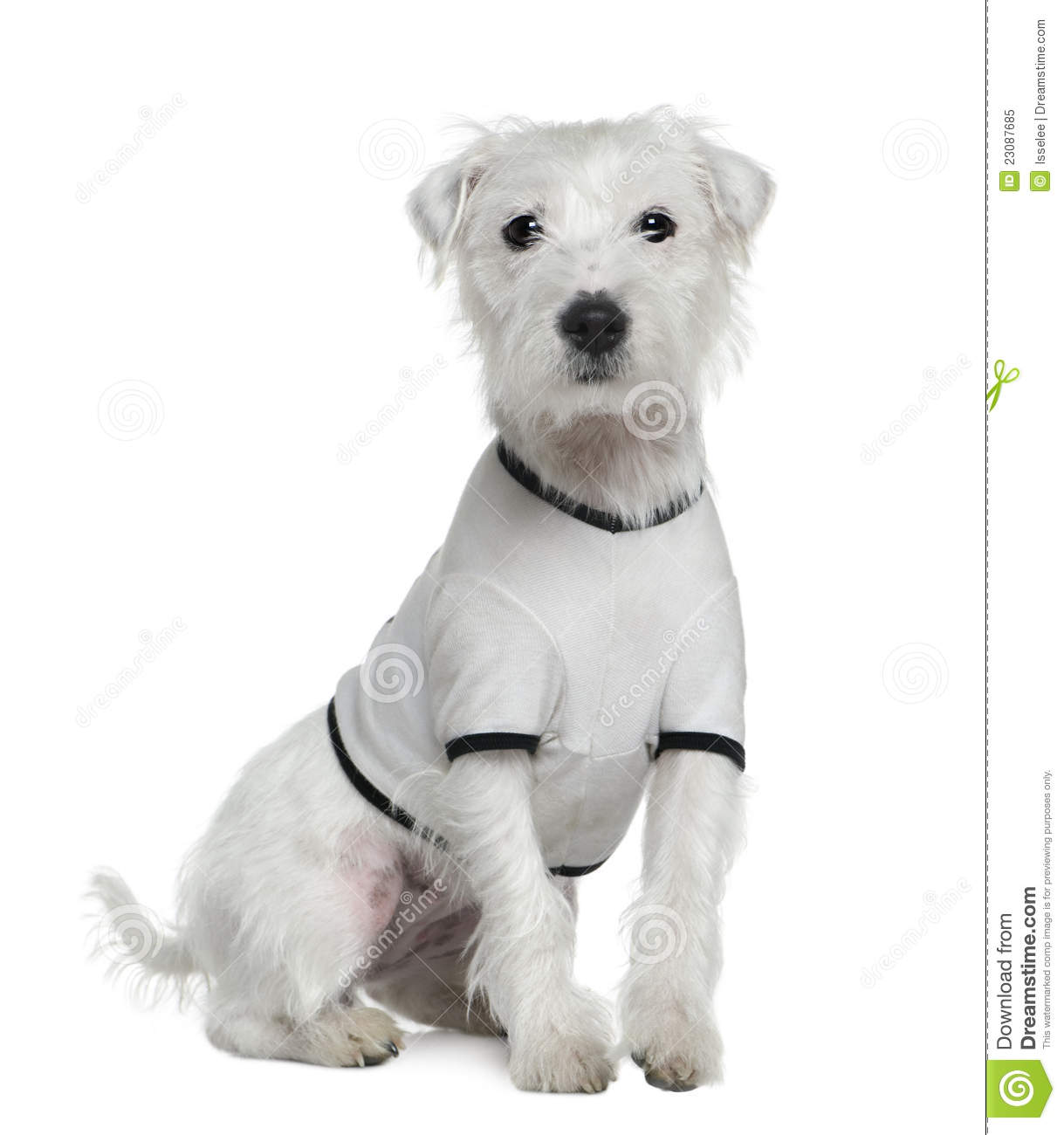 Parson Russell Terrier In White Shirt Royalty Free Stock Photo - Image ... White Parson Russell Terrier