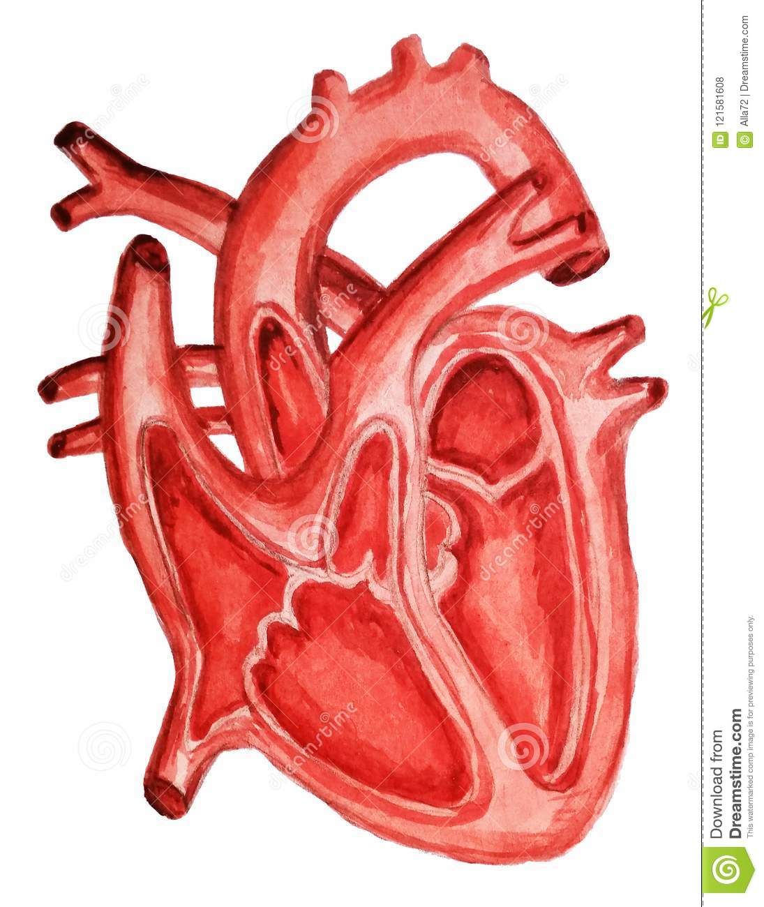 Part Of The Human Heart Anatomy Diastole And Systolelling And