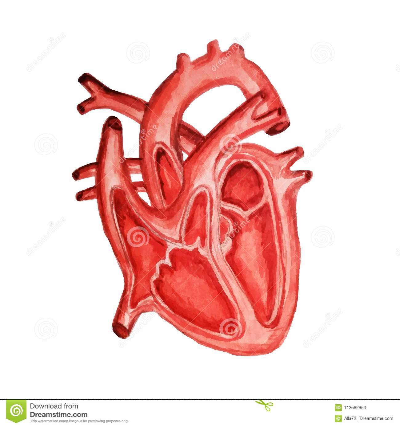 Part Of The Human Heart. Anatomy. Diastole And Systole. Watercolor ...