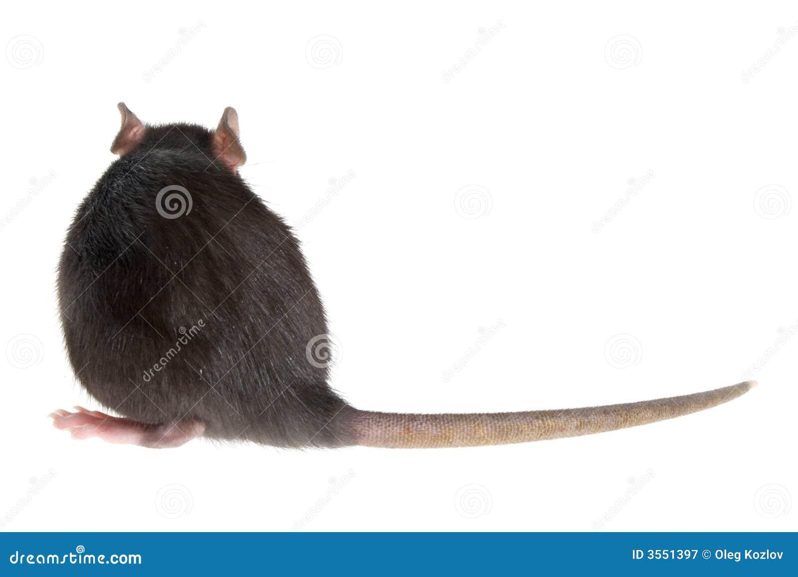 Parte posteriore del ratto