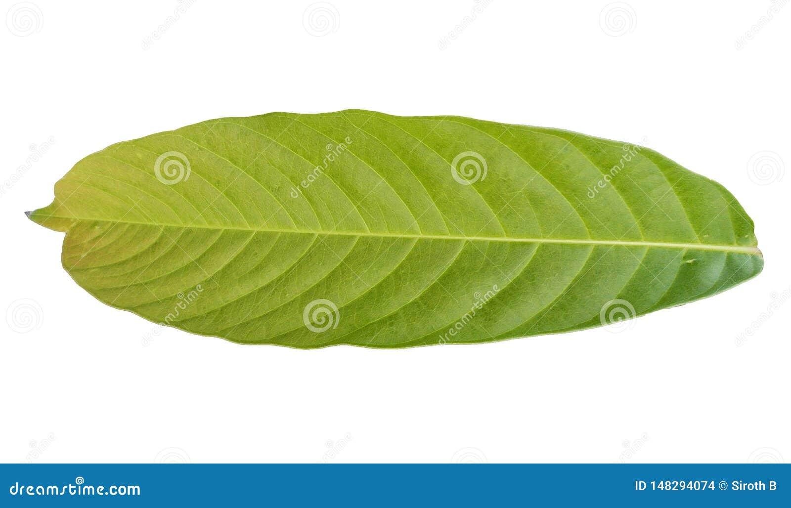 Parte posteriore di fogliame verde tropicale sugli ambiti di provenienza bianchi