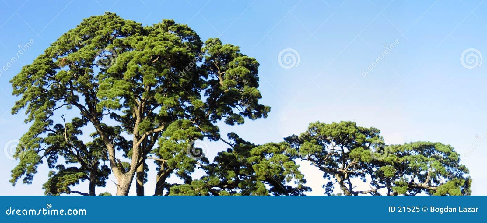 Parte superior das árvores - largamente