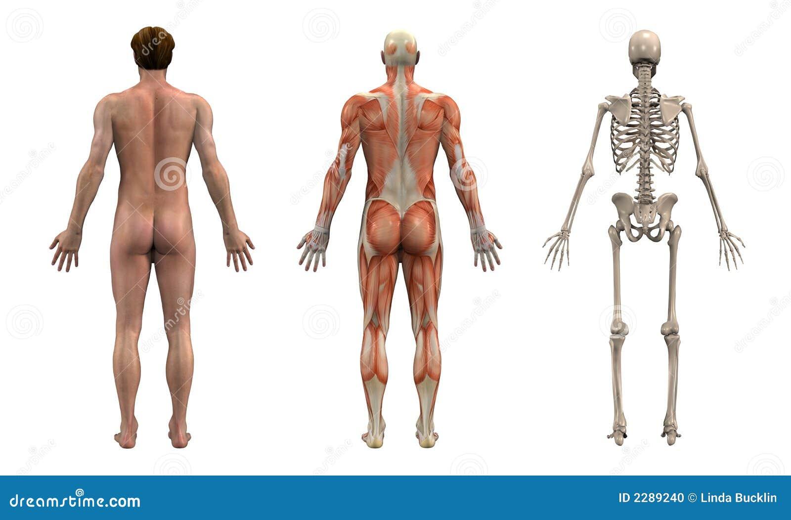 Parte traseira da anatomia - macho adulto