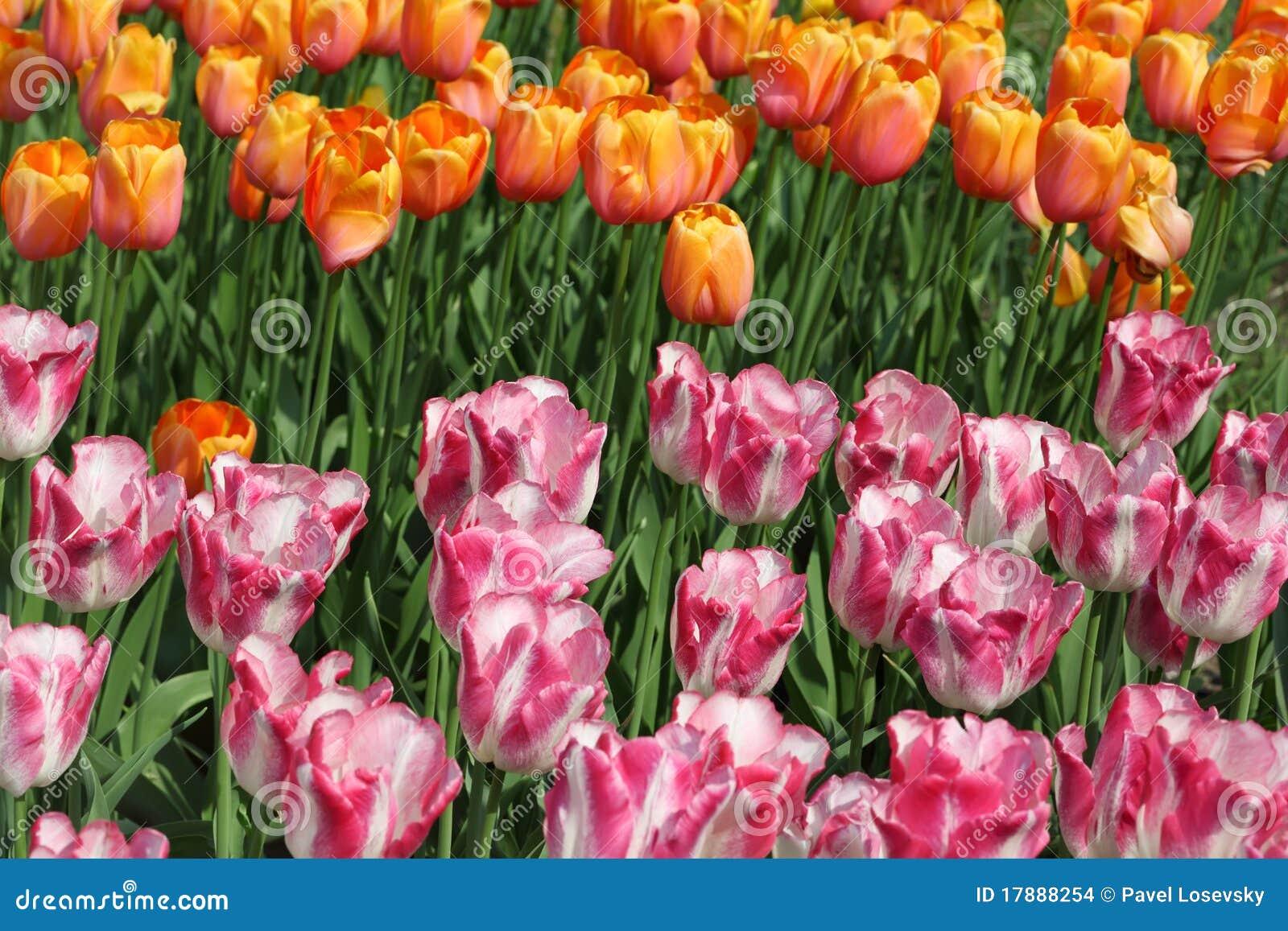 Parterre avec la tulipe rose et jaune lumineuse images stock image 17888254 for Parterre de roses photos
