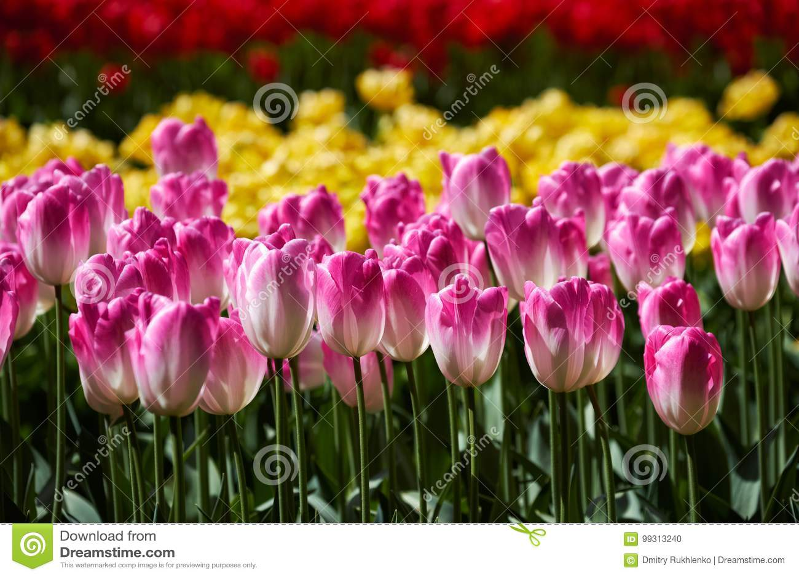 Parterre de floraison de tulipes dans le jardin d agrément de Keukenhof, Netherland