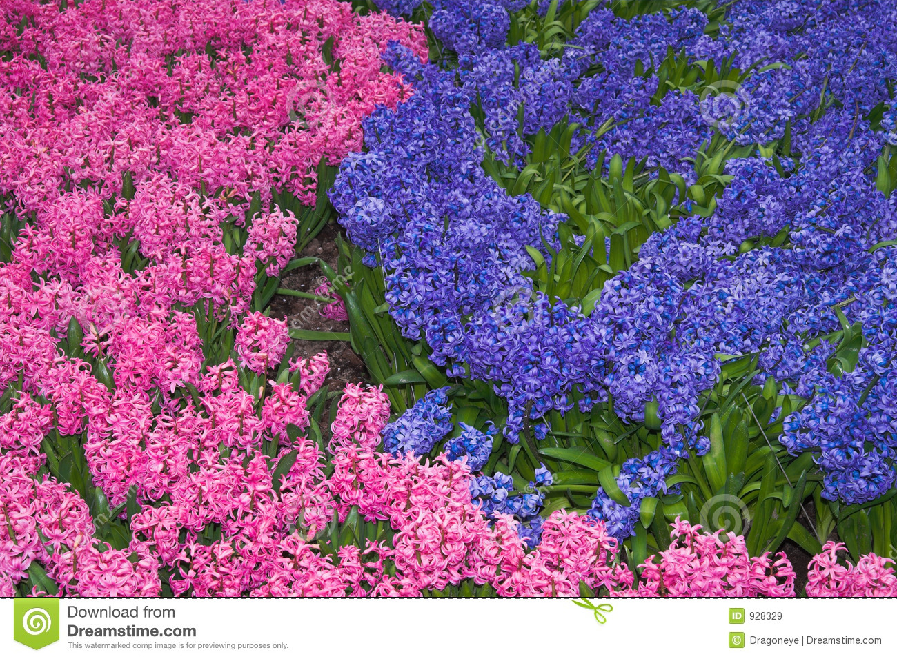 Parterre des jacinthes roses et lilas images libres de droits image 928329 for Parterre de roses photos