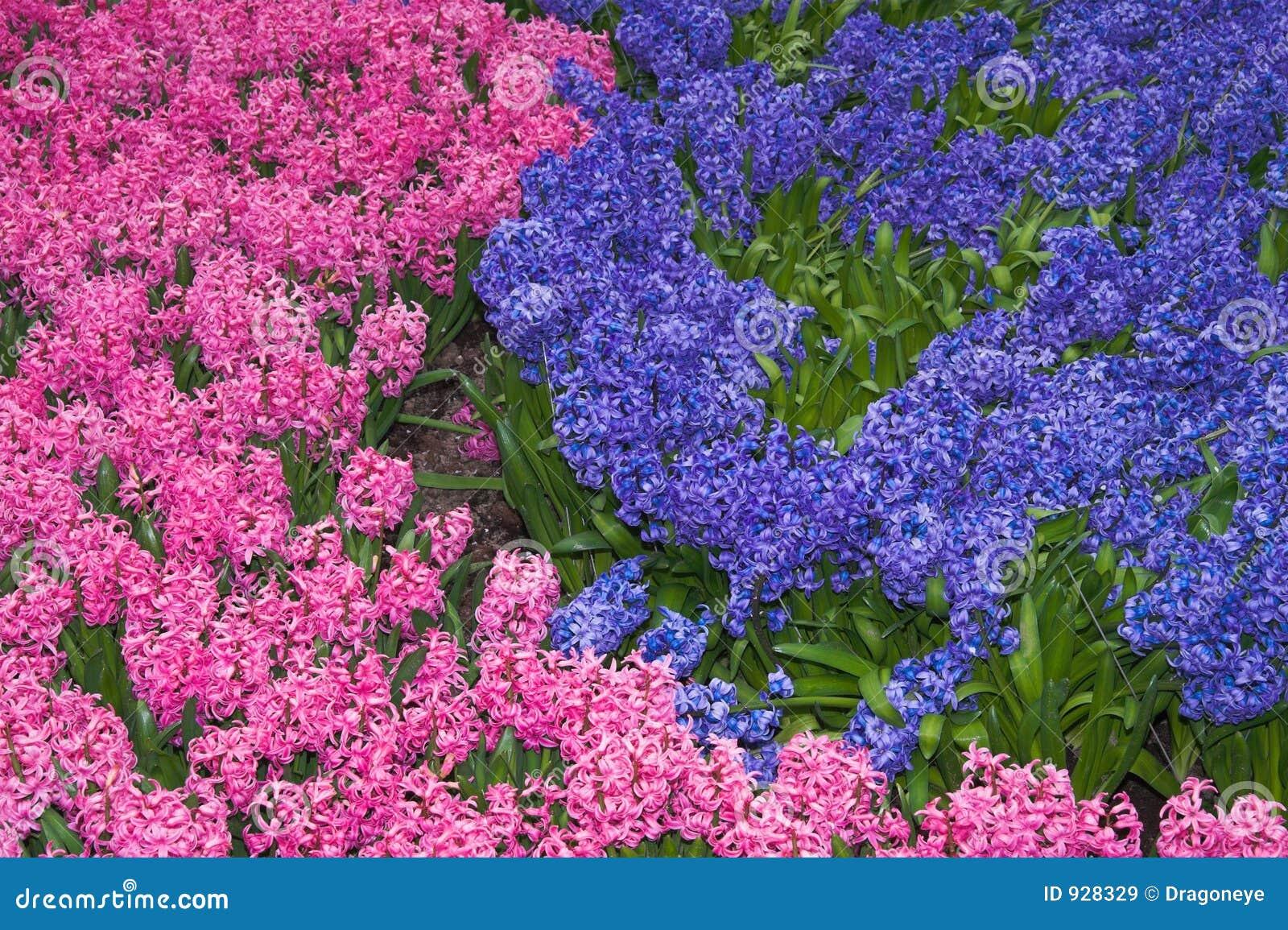 Parterre De Roses Photos Of Parterre Des Jacinthes Roses Et Lilas Images Libres De Droits Image 928329