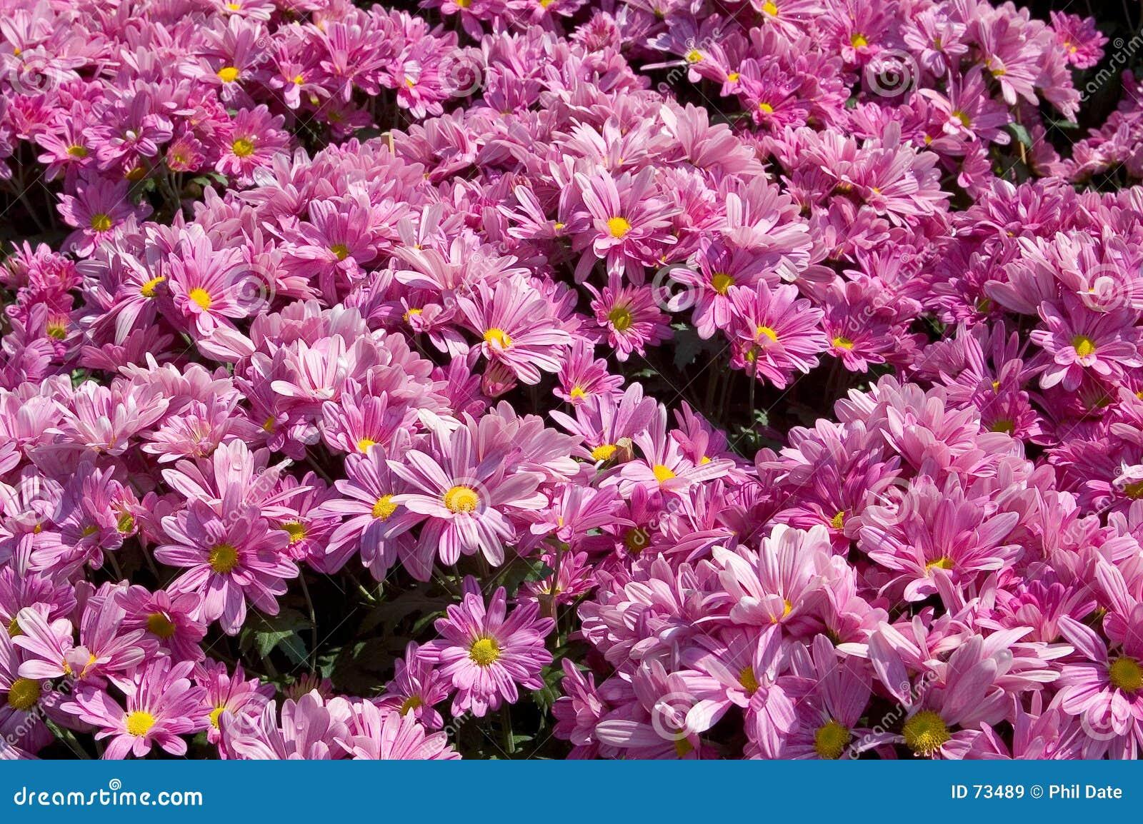Parterre rose image stock image du jardin p tales t 73489 - Fleur de parterre ...