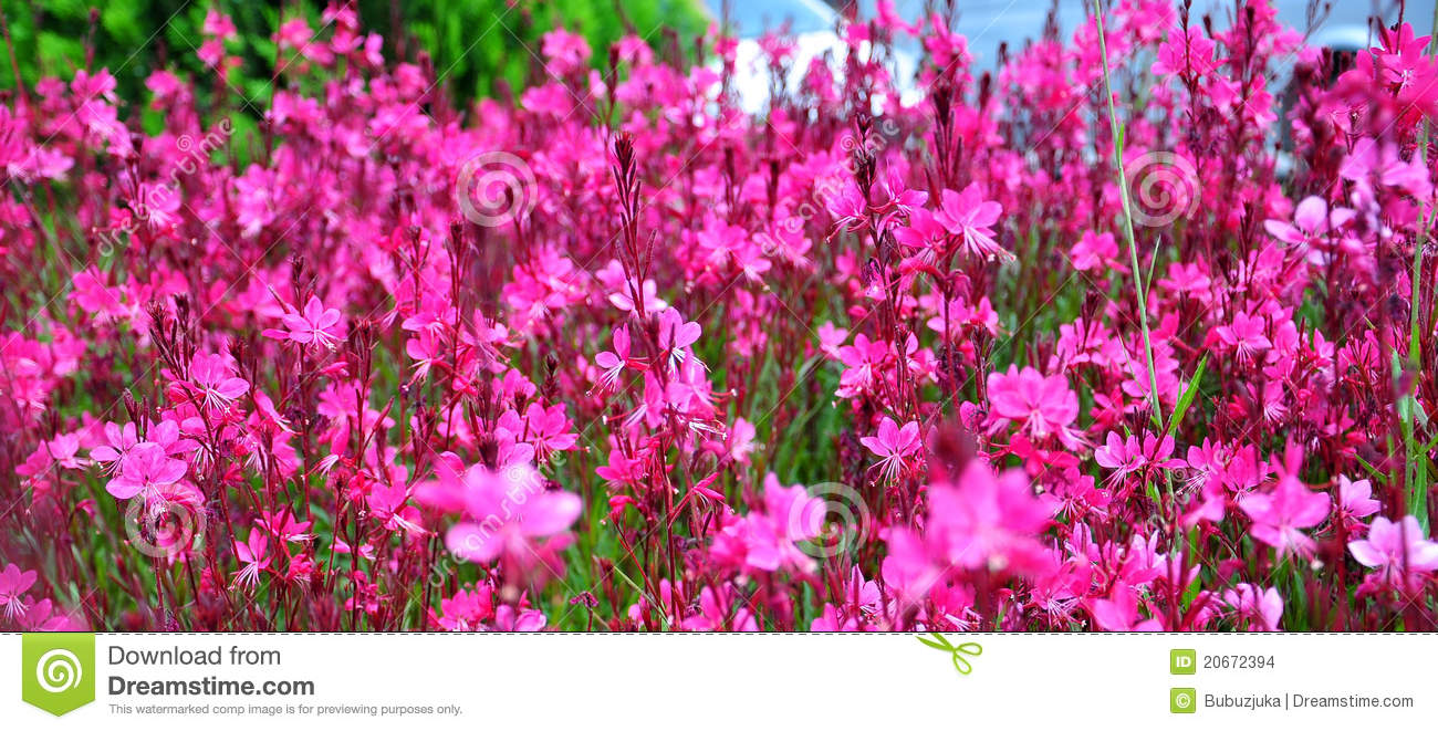 Parterre rose de fleur images stock image 20672394 for Parterre de roses photos