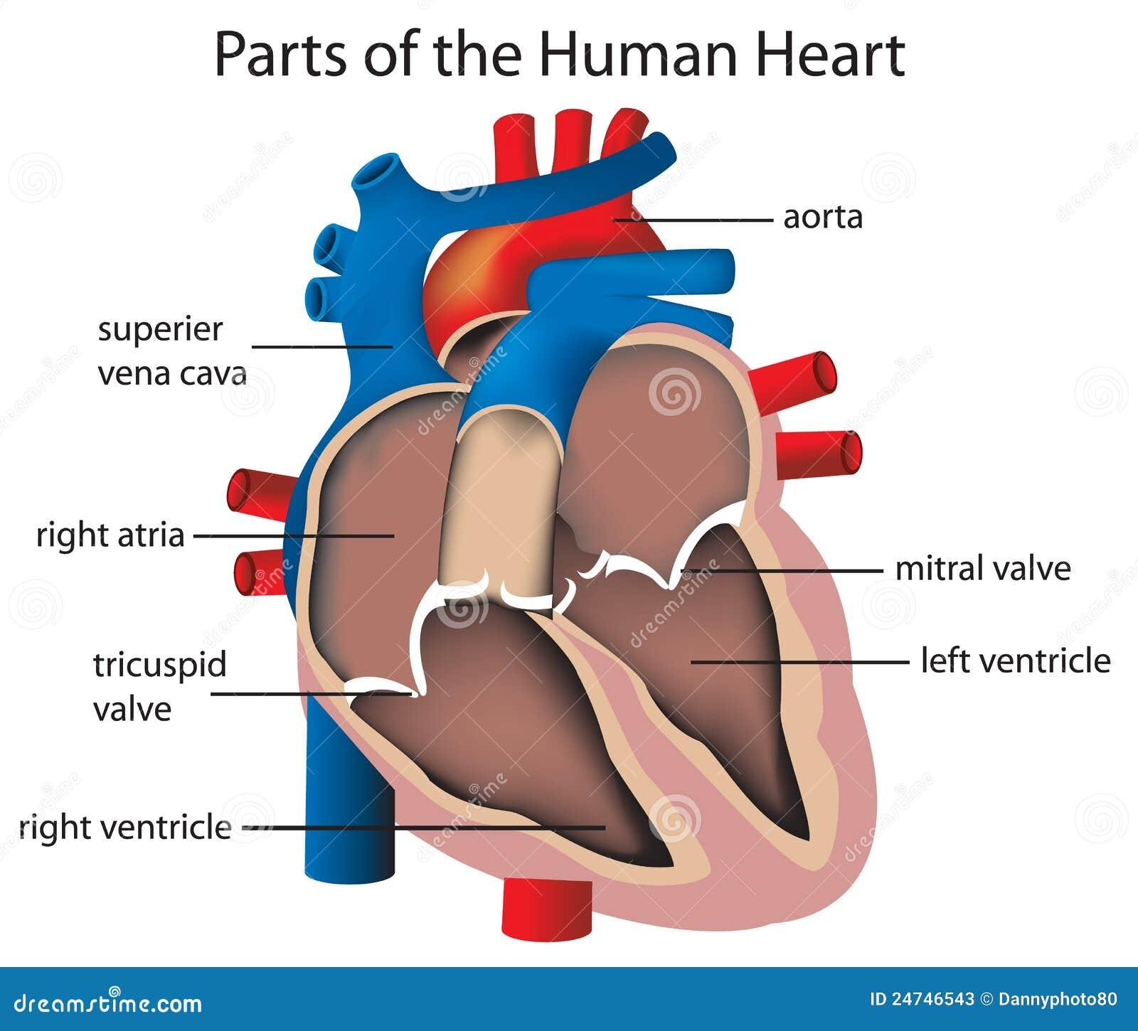 Bonito Partes Etiquetadas Del Corazón Ideas - Anatomía de Las ...