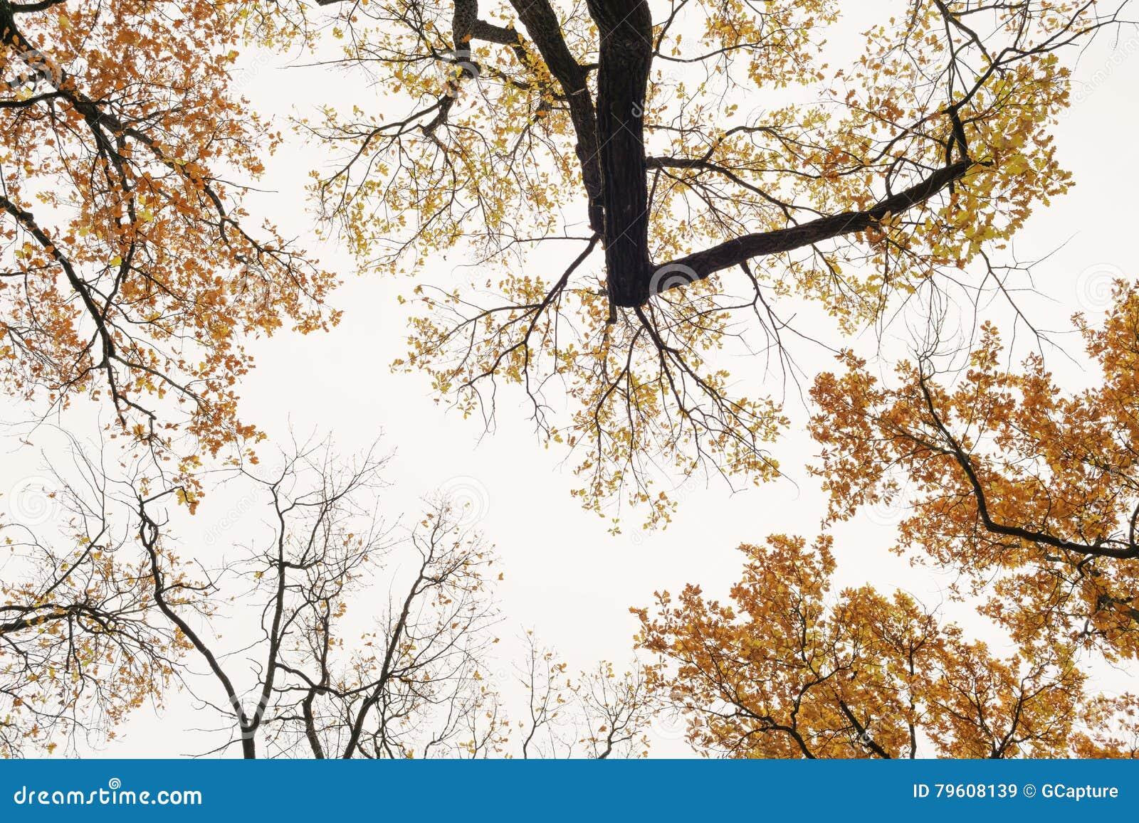 Partes superiores do carvalho do outono de baixo de