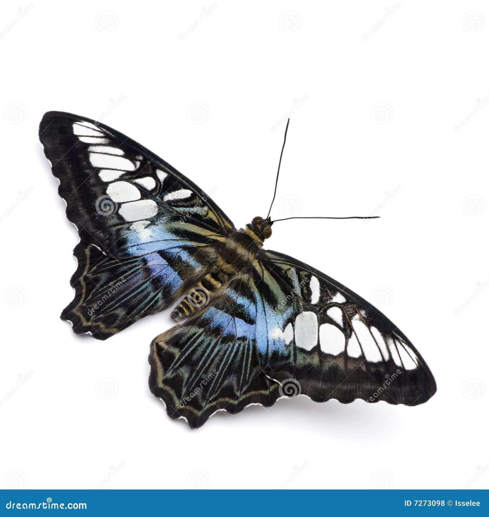 Parthenos sylvia бабочки