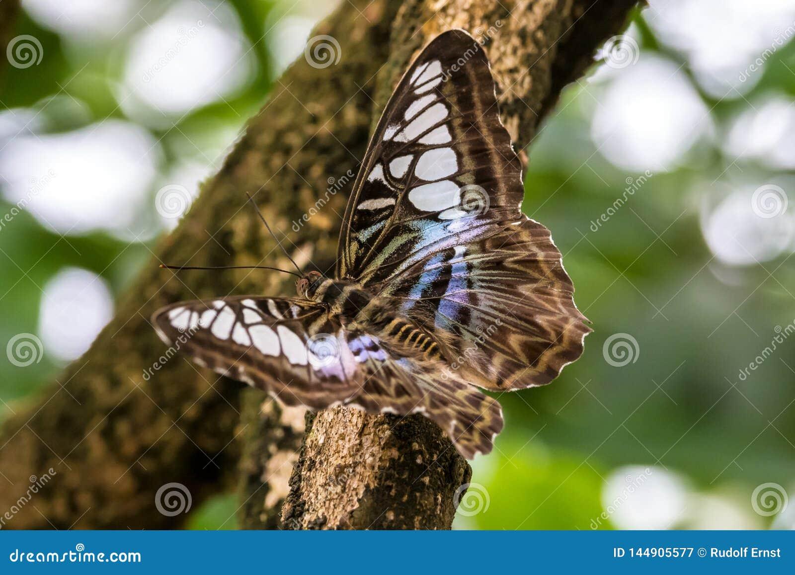 Parthenos Sylvia, der braune Scherer, ist Spezies von nymphalid Schmetterling