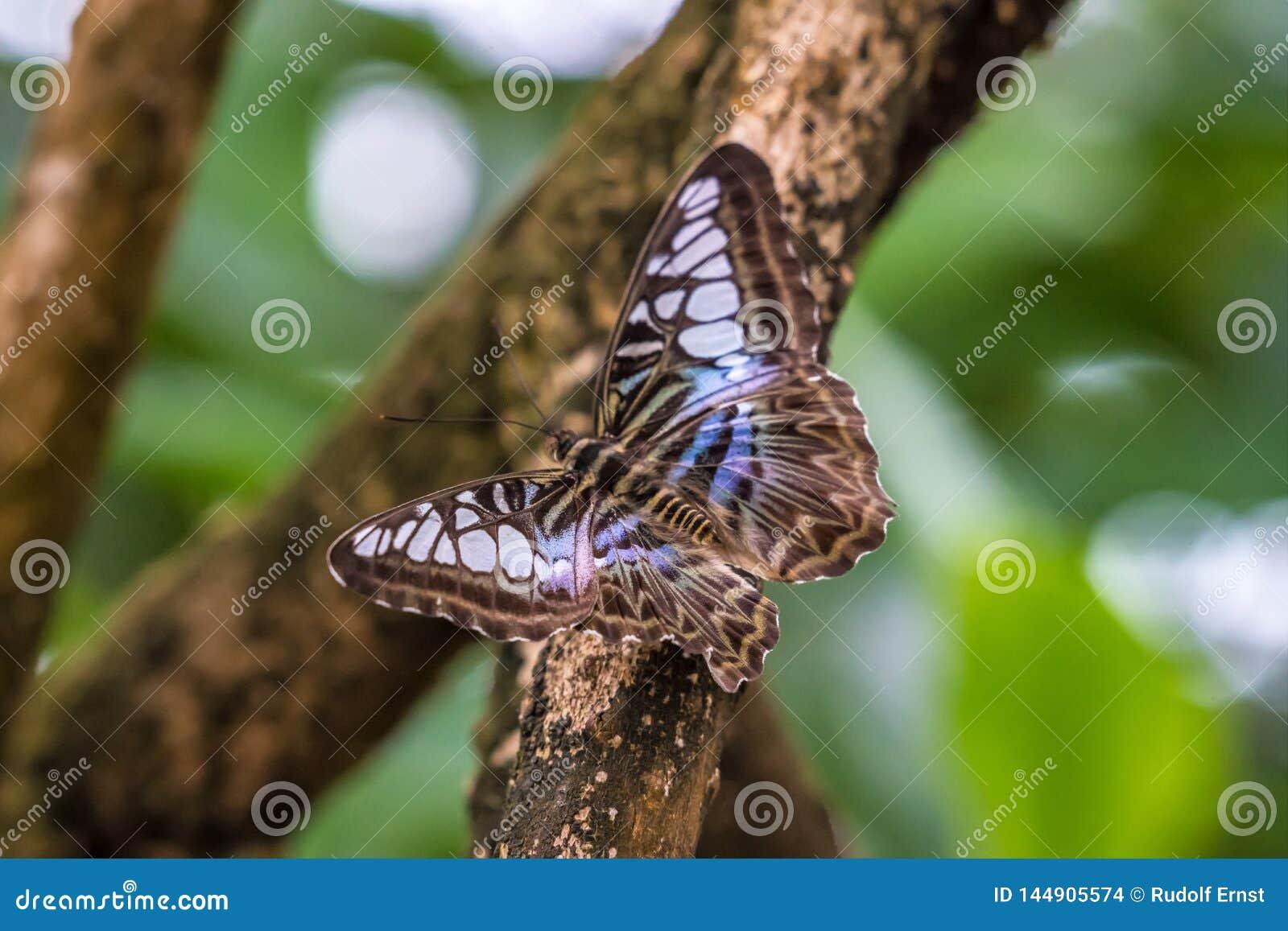 Parthenos Sylvia, il tagliatore marrone, è specie di farfalla di nymphalid