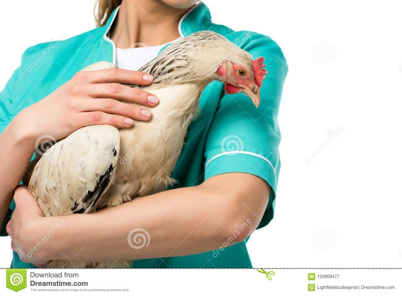 partial view of veterinarian holding chicken