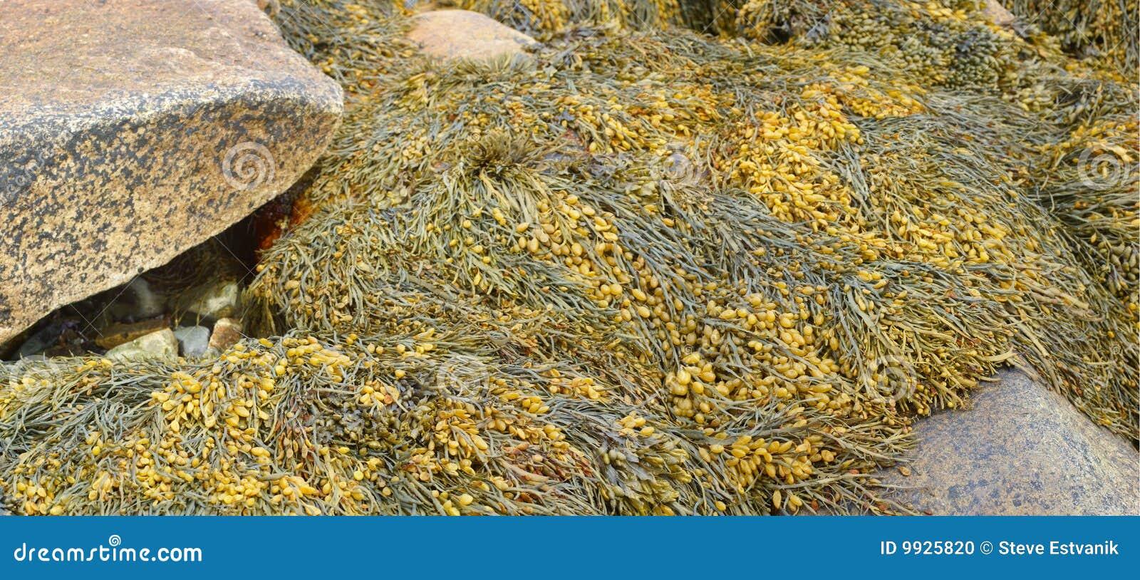 Particolare, alga e kelp sulle rocce della spiaggia