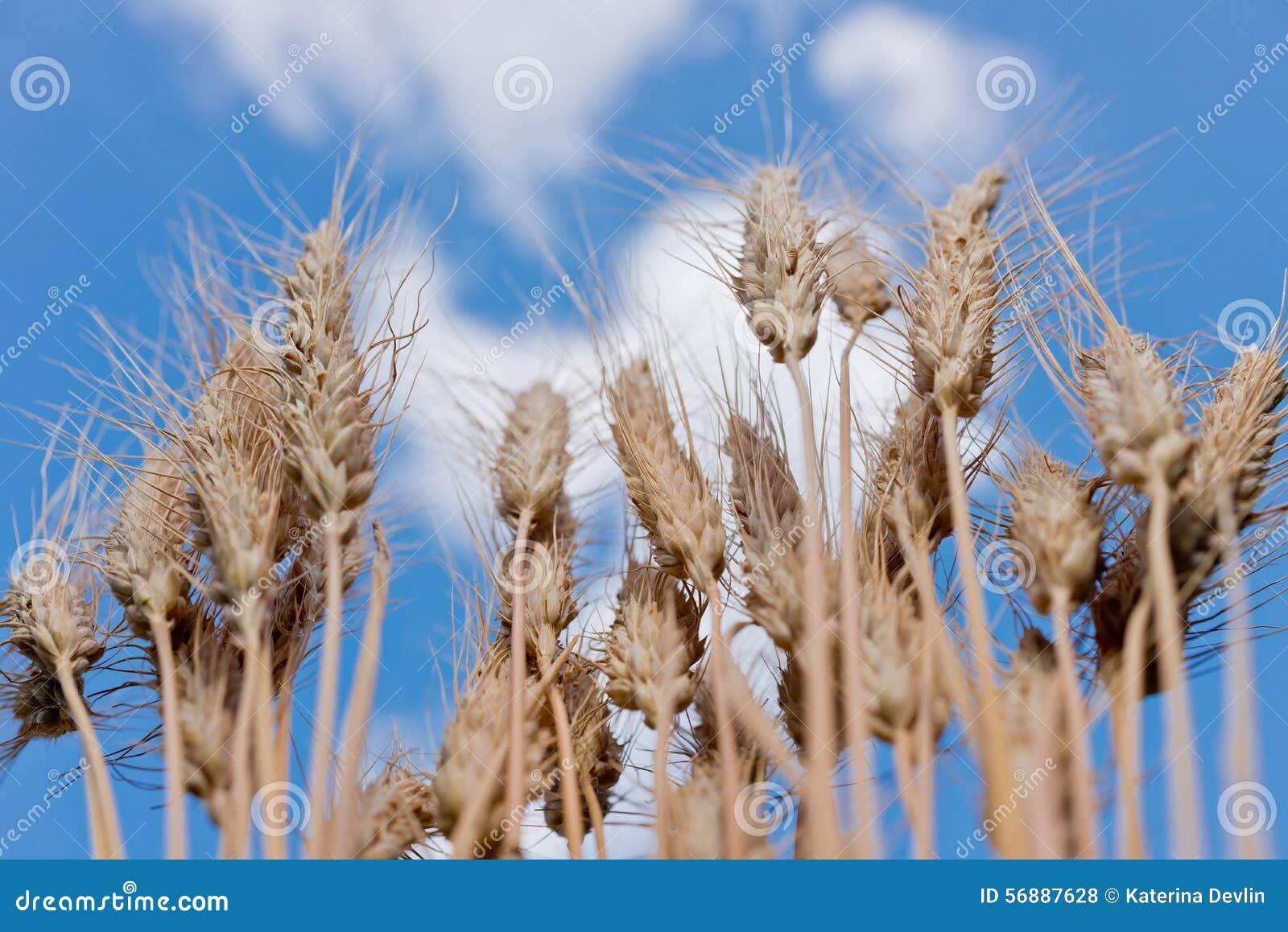 Particolare del campo di frumento