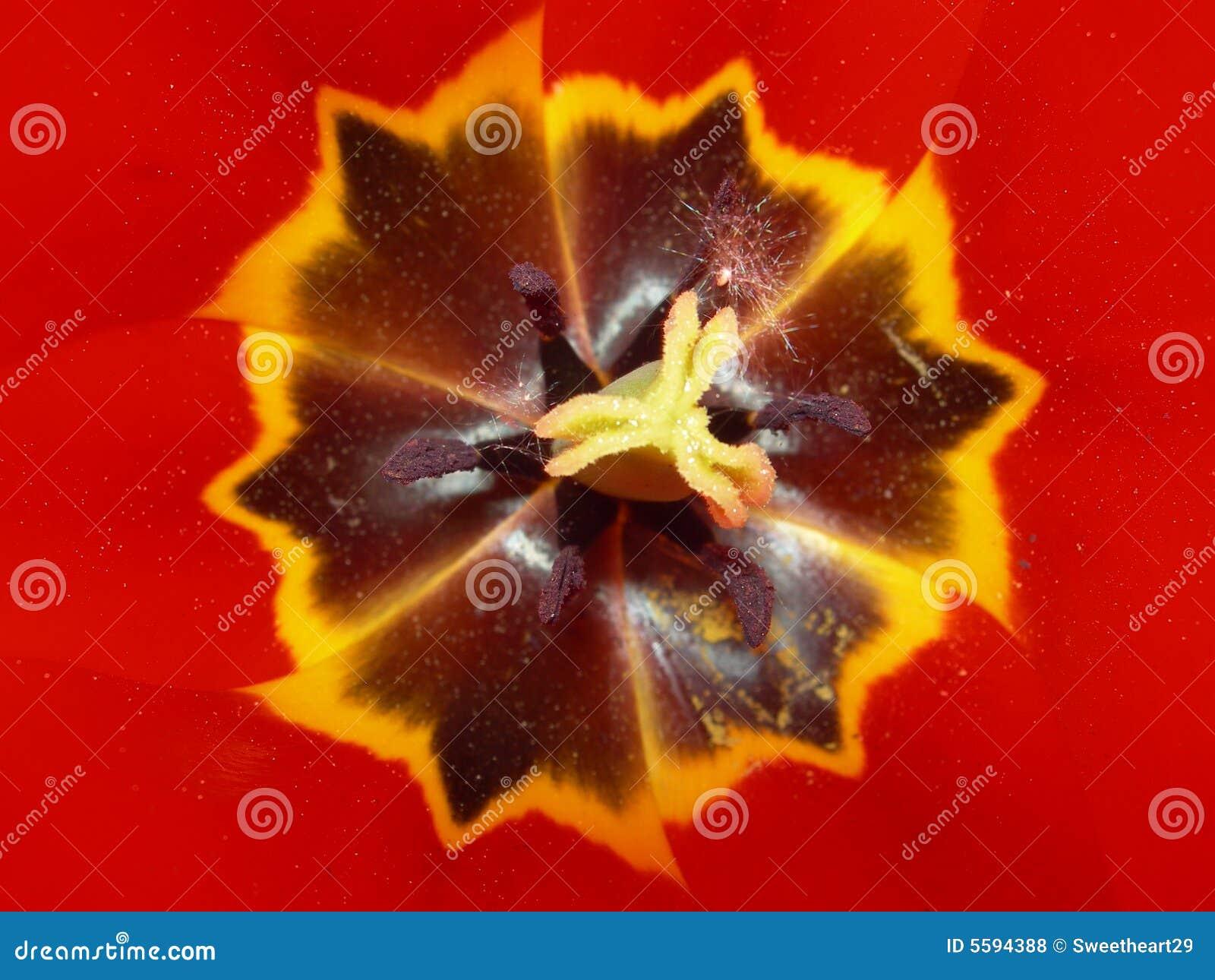 Particolare del tulipano