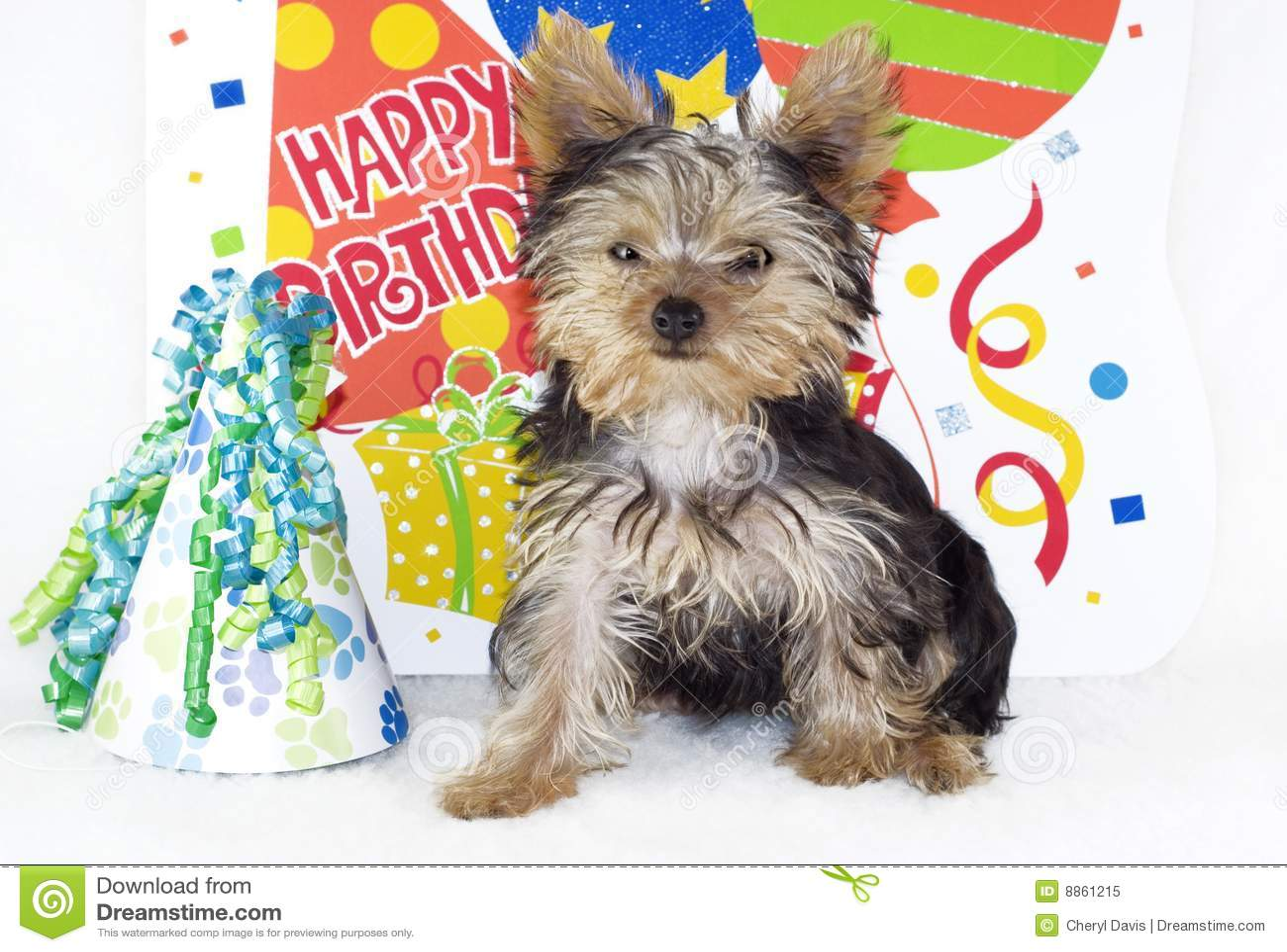 Download Partido Del Feliz Cumpleaños Del Terrier De Yorkshire Imagen de archivo - Imagen de pelo, melenudo: 8861215
