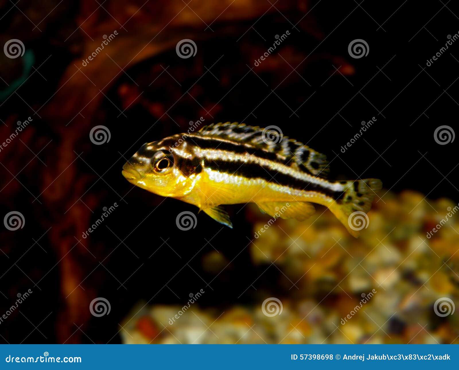 Partij van aquariumvissen van cichlidaefamilie