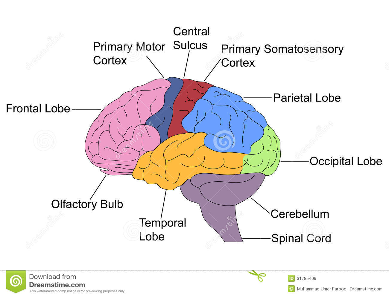 Parts: The Parts Of The Brain