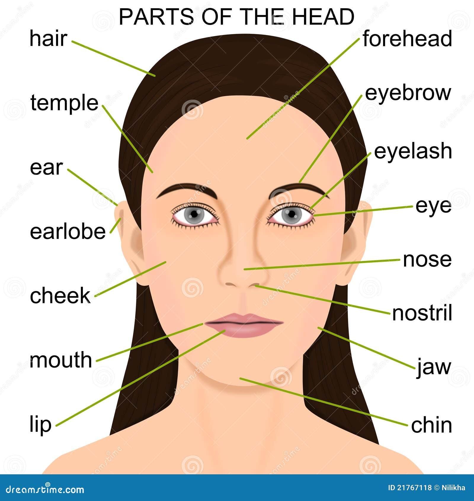 Parts Of The Head Roya...