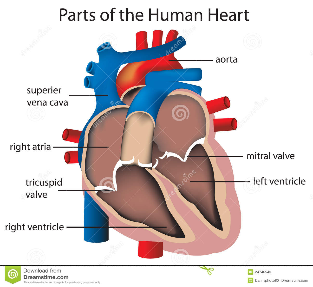 Parts of the heart stock illustration illustration of mitral 24746543 illustration of parts of the heart ccuart