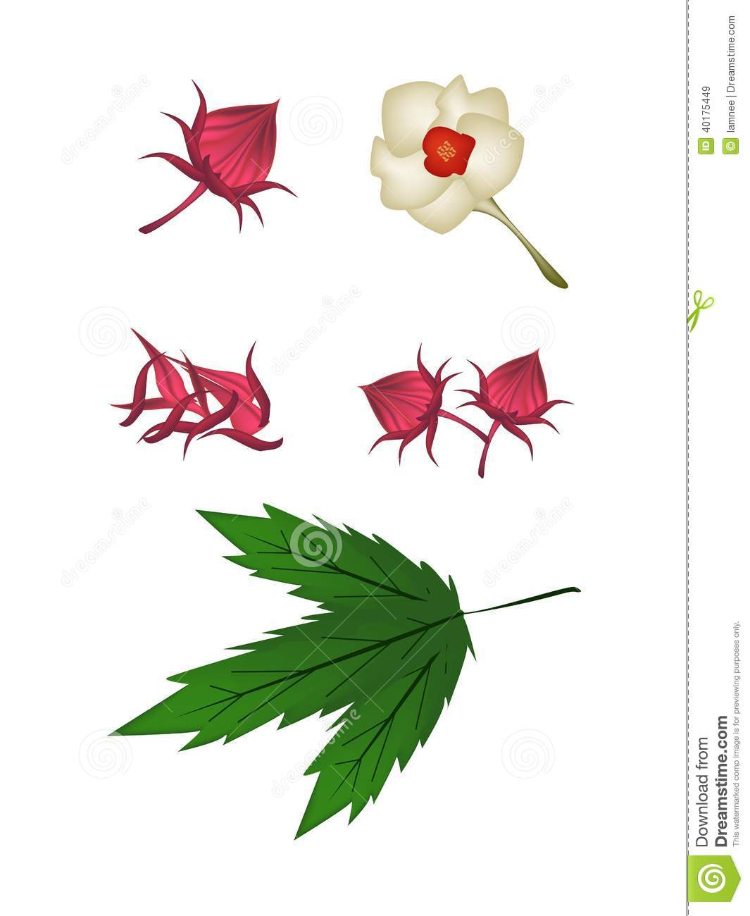 Parts Of Hibiscus Sabdariffa Or Roselle Plant Stock Vector