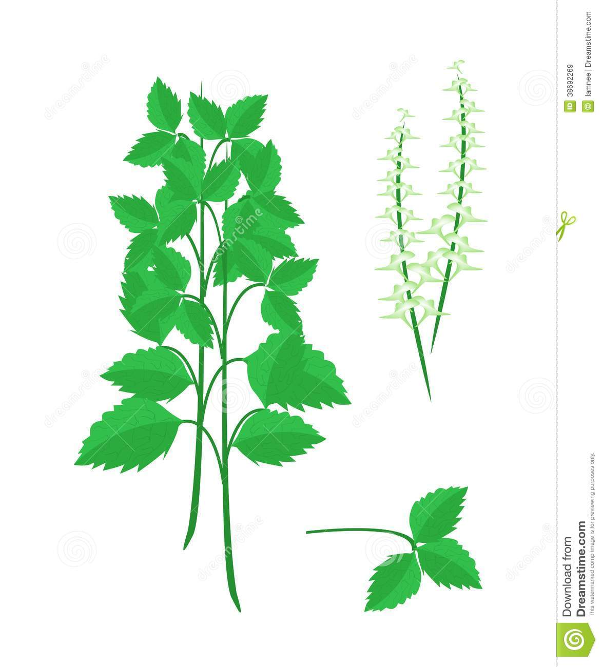 Vegetable and Herb, Vector Illustration Parts of Holy Basil or Sacred ...
