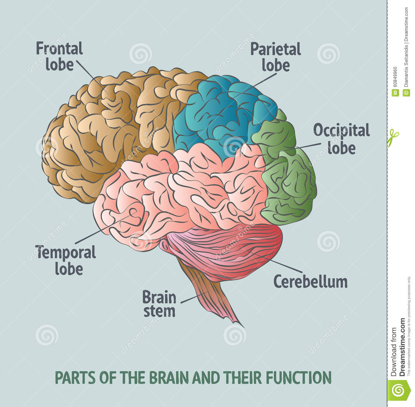 Parts Of The Human Brain Stock Vector Illustration Of Processing