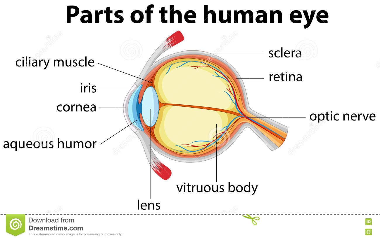 Parts Of Human Eye With Name Stock Vector - Image: 73719192