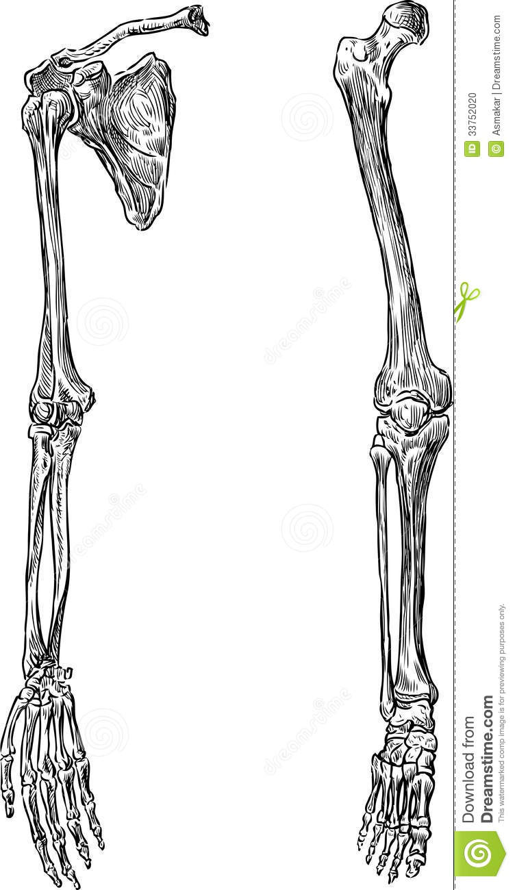 Vector drawing of the hand and leg of the human skeleton.