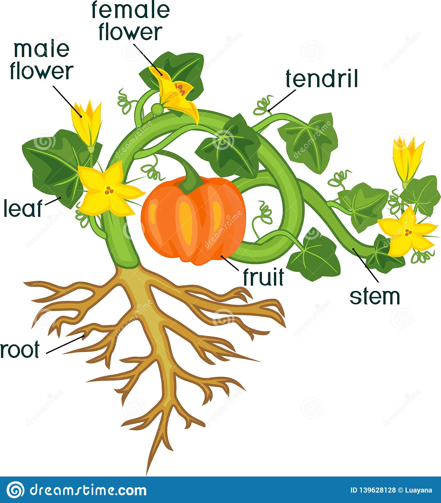 Parts Of Plant Morphology Of Pumpkin Plant With Fruit Green Leaves Root System And Titles Stock Vector Illustration Of Ripe Isolated 139628128