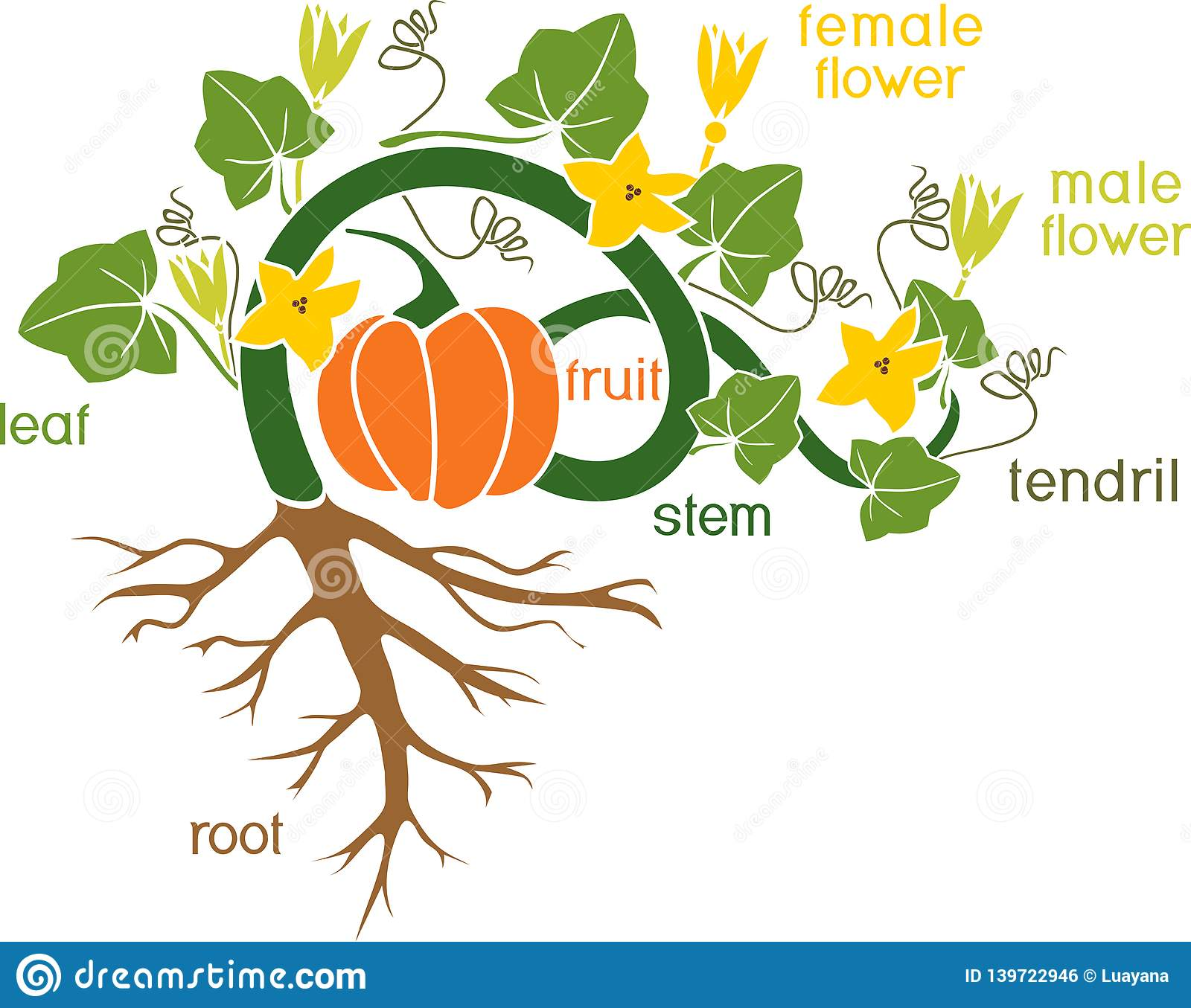 Parts Of Plant Morphology Of Pumpkin Plant With Fruit Green Leaves Root System And Titles Stock Vector Illustration Of Biology Agricultural 139722946