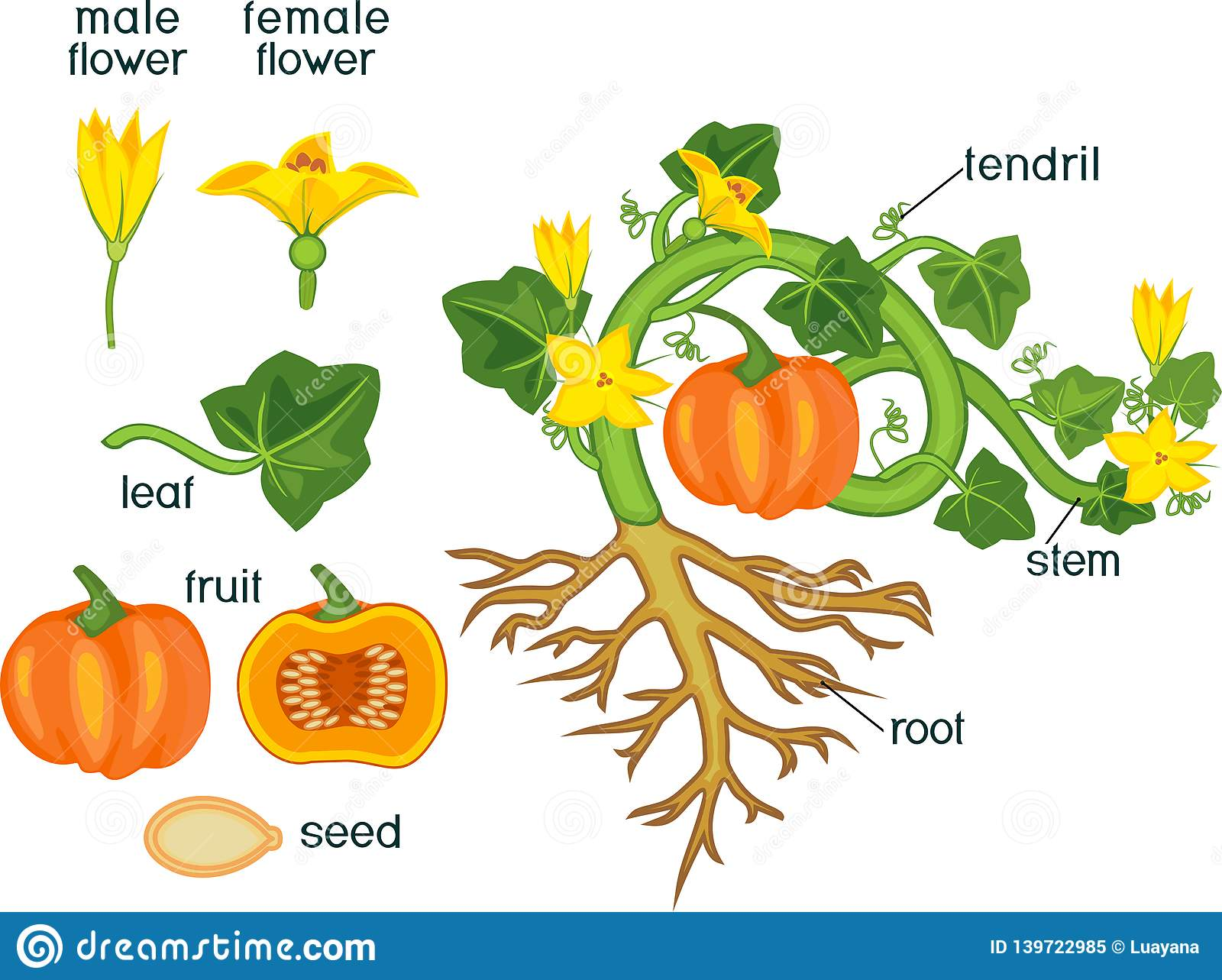 Parts Of Plant Morphology Of Pumpkin Plant With Fruit Green Leaves Root System And Titles Stock Vector Illustration Of Fruit Cucurbita 139722985