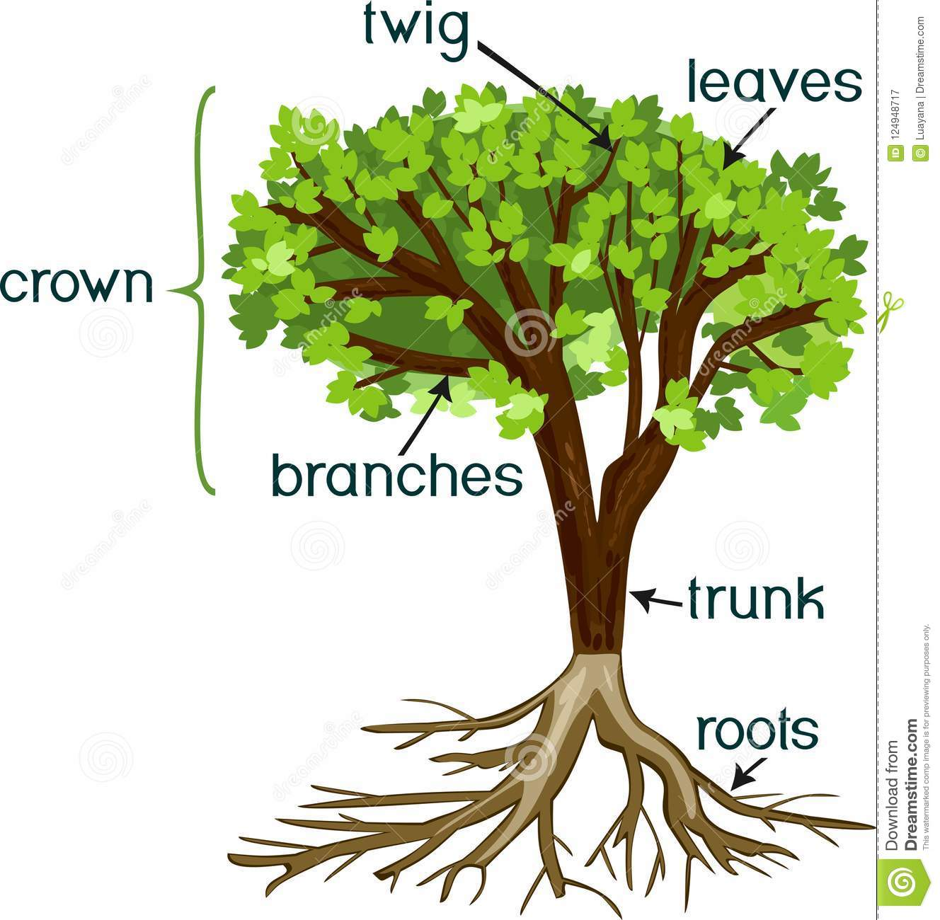 parts of plant  morphology of tree with green crown  root system  and titles stock vector